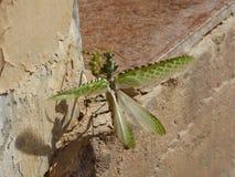 阿曼,塞拉莱,飞行的特写镜头观点的一只螳螂与被涂的翼 图库摄影