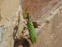 阿曼,塞拉莱,飞行的特写镜头观点的一只螳螂与被涂的翼 免版税库存图片