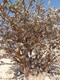 阿曼,塞拉莱,香火耕种,树的看法,香火灌木 免版税图库摄影