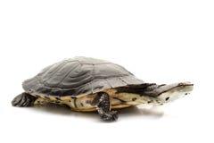 阿根廷sideneck乌龟 库存图片