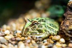 阿根廷有角的青蛙 库存图片