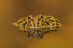 阿根廷有角的青蛙(Ceratophrys Ornata) 库存图片