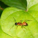 阿根廷蚂蚁(humile的Linepithema) 免版税库存照片
