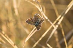 阿格斯棕色蝴蝶 库存照片