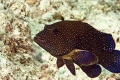 阿格斯cephalopholis石斑鱼孔雀 免版税图库摄影