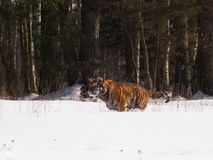 阿穆尔河东北虎跑在雪的-豹属底格里斯河altaica 免版税库存图片