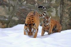 阿穆尔河其一只老虎年轻人 库存图片