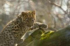 阿穆尔河在树的豹子崽 图库摄影