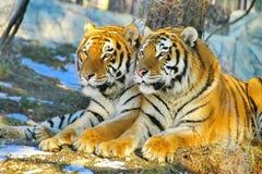阿穆尔河或Ussuri老虎或者远东老虎拉特 豹属底格里斯河altaica是老虎的亚种 免版税图库摄影