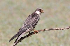 阿穆尔河猎鹰是猎鹰家庭的一只小猛禽 它在东南西伯利亚和华北养殖在移居前  免版税库存照片