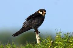 阿穆尔河猎鹰是猎鹰家庭的一只小猛禽 它在东南西伯利亚和华北养殖在移居前  库存照片