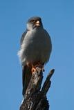阿穆尔河猎鹰 库存图片