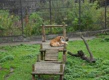 阿穆尔河老虎在用木材建造的桥梁说谎在动物园里 免版税图库摄影