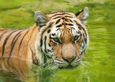 阿穆尔河老虎在水中 库存图片