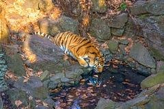 阿穆尔河老虎是从一个水库的饮用水在徒步旅行队公园 免版税库存照片