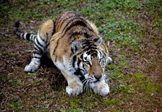 阿穆尔河老虎特写镜头的面孔 老虎 阿穆尔河西伯利亚人老虎 免版税库存图片