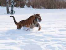 阿穆尔河老虎跑在雪的-豹属底格里斯河altaica 库存照片