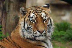 阿穆尔河西伯利亚人老虎 免版税库存图片