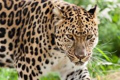 阿穆尔河豹子偷偷靠近转接 免版税库存图片
