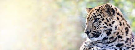 阿穆尔河豹子在阳光下 库存图片
