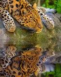 阿穆尔河豹子画象 库存照片