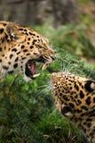 阿穆尔河豹子缠结 免版税库存图片