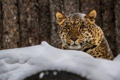 阿穆尔河豹子从冬天俄罗斯 免版税库存照片