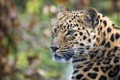 阿穆尔河豹子画象 库存图片
