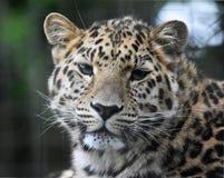 阿穆尔河豹子 免版税库存照片