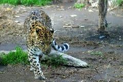阿穆尔河豹子 免版税图库摄影