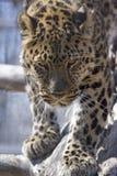 阿穆尔河豹子 库存照片