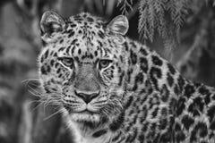 阿穆尔河豹子 免版税库存图片