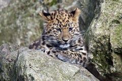 阿穆尔河豹子Cub 库存图片