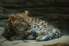 阿穆尔河豹子Cub 免版税库存照片