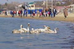 阿纳帕,俄罗斯- 3月08 2017年:在海滩和冬天喂养的公民在黑海疣鼻天鹅拉特群  天鹅座olor 图库摄影