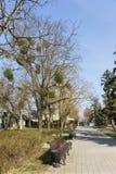 阿纳帕,克拉斯诺达尔边疆区,俄罗斯- 3月08 2017年:与寄生植物槲寄生拉特的树 Vï ¿ ½浮渣在城市公园 库存照片