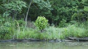 阿肯色河银行在与美国梧桐树的夏天 免版税库存图片