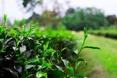 阿萨姆邦茶  免版税库存照片