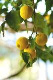 从阿马尔菲海岸的柠檬 库存图片