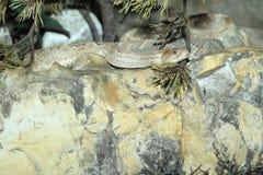 阿鲁巴响尾蛇 库存图片
