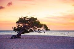 阿鲁巴在日落的鞣科芸实树 图库摄影