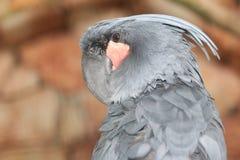 阿鲁棕榈美冠鹦鹉 免版税库存照片