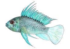 阿鲁阿Apistogram  热带水族馆的鱼 额嘴装饰飞行例证图象其纸部分燕子水彩 图库摄影