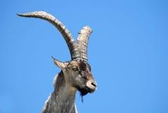 阿维拉espa动物区系gredos 免版税图库摄影