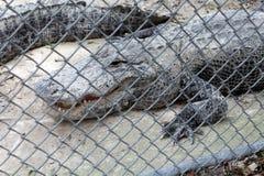 附上的鳄鱼 免版税图库摄影