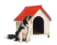 附加和咆哮在狗窝旁边的博德牧羊犬 免版税库存照片