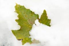 黏附在雪外面的偏僻的绿色叶子 免版税库存照片