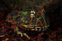陆军青蛙 免版税库存照片