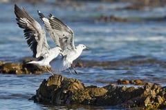 登陆在岩石的两只海鸥 库存照片