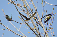 登陆在树的树燕子 库存图片